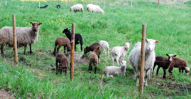 'Finnsheep ewes and lambs in Finland' - photo found in Wiki Commons and attributate to David Smith from Elimäki, Finland