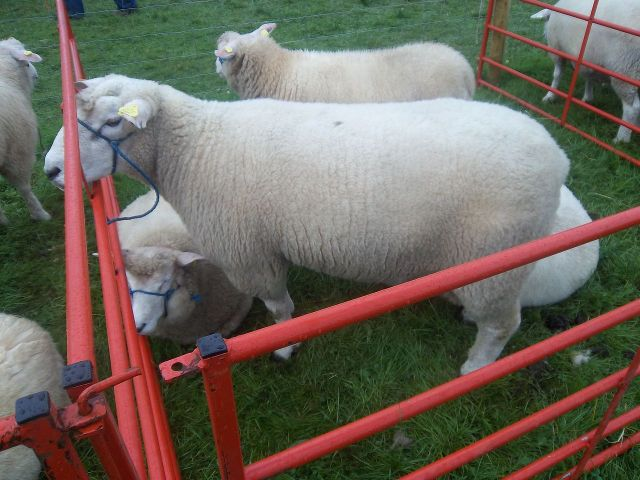 'A Galway ram at Tullamore Show Co. Offaly' - photo found on Wiki Commons and attributable to Finnegas
