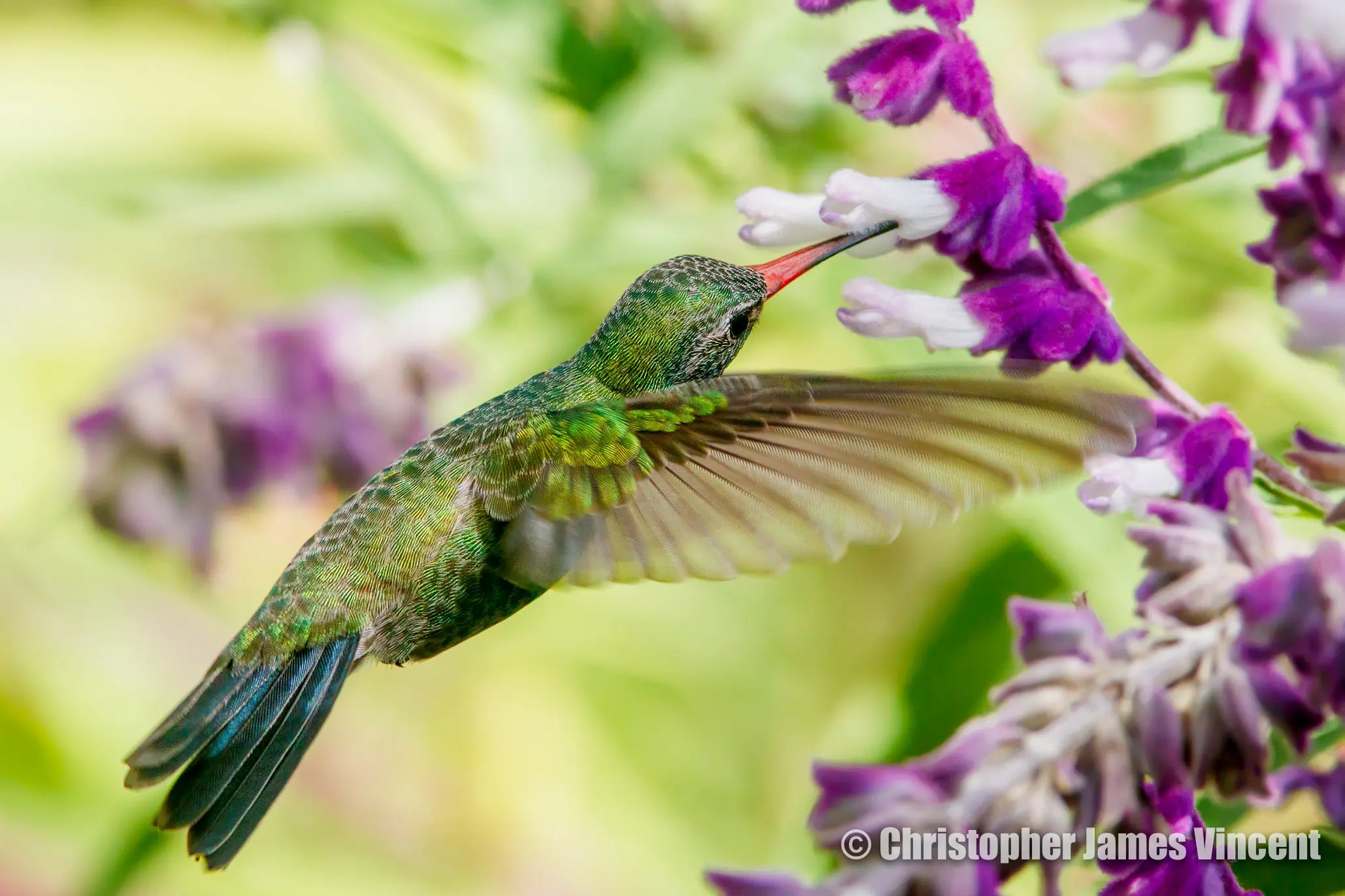 Broad-billed Hummingbird sipping from Velvet Sage