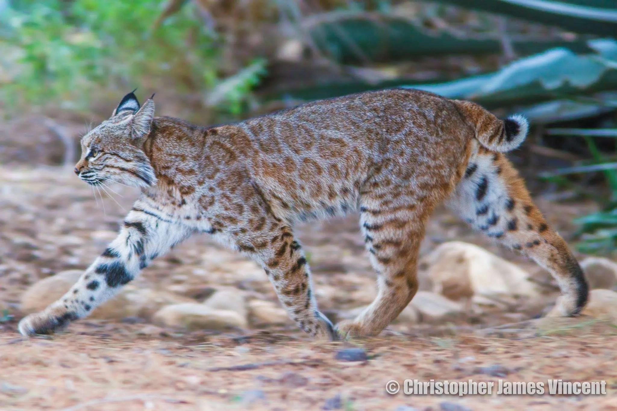 Bobcat, on the hunt