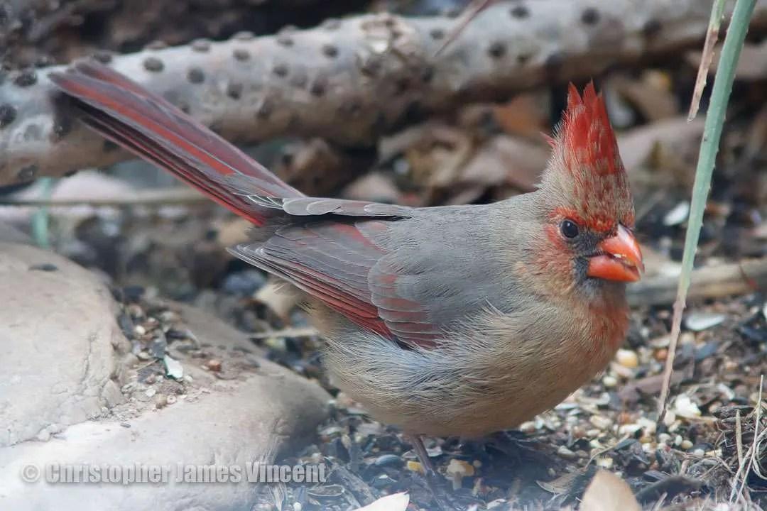 Northern Cardinal/Pyrrhuloxia Hybrid