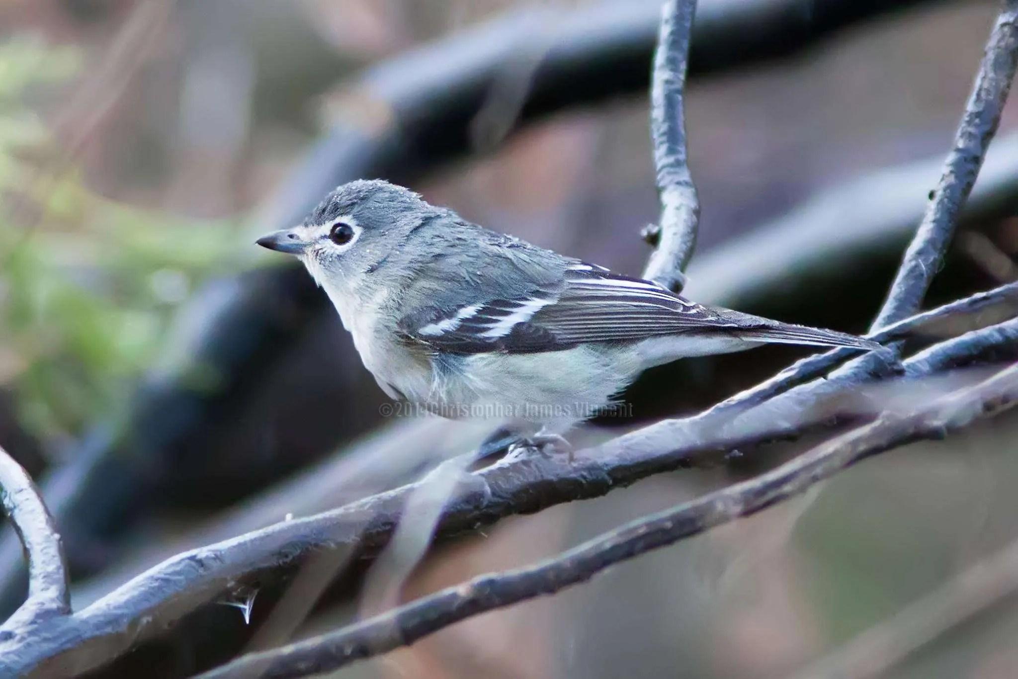 Plumbeous Vireo in the Bird Shower