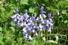 Was am Frühjahrsanfang die Daffodils waren, sind jetzt die Blue Bells. Diese blühen zur Zeit in vielen Gärten, Parks und auch im Wald.