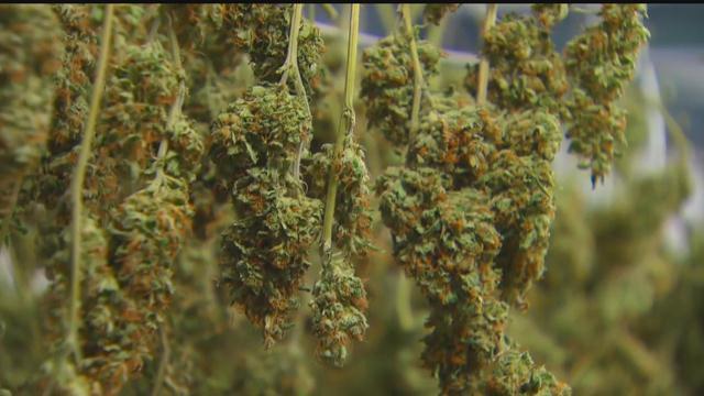 Marijuana Plants-794306122