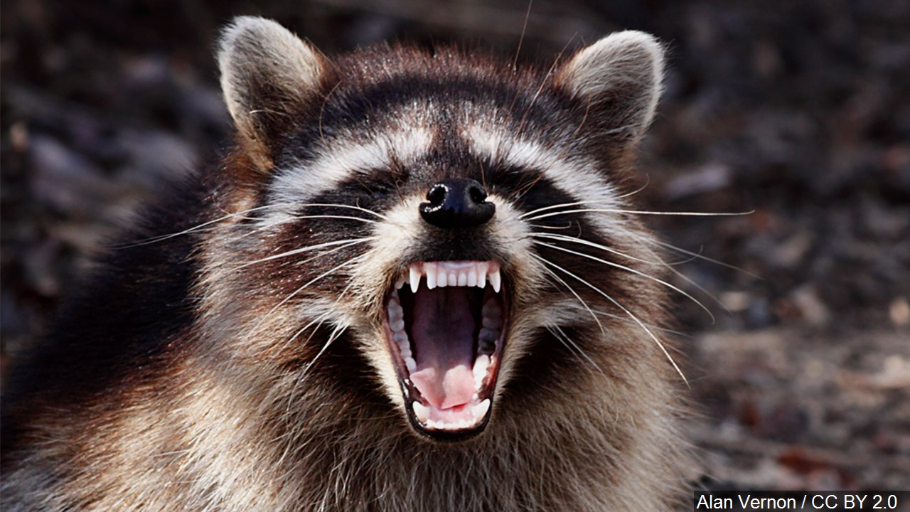 raccoon_1555598833988.jpg