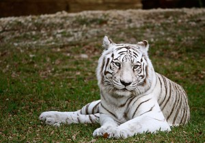 White tiger limo in Miami Zoo Photo