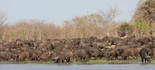 Herds of Buffalo at Mukungele GMA