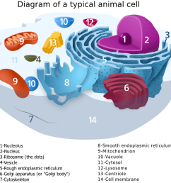 animal cell diagram label medical anatomy cells animal cell animal cell diagram label png html [ 1100 x 895 Pixel ]