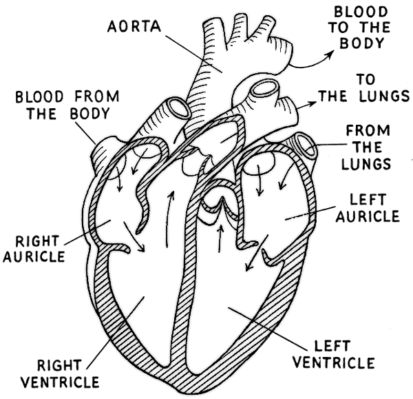 mbacok blog: heart diagram not labeled