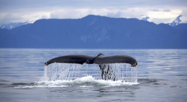 Humpback tail (flukes)...