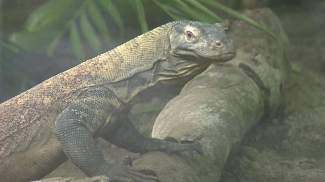 Komodo Dragon at Roger Williams Park Zoo_481396