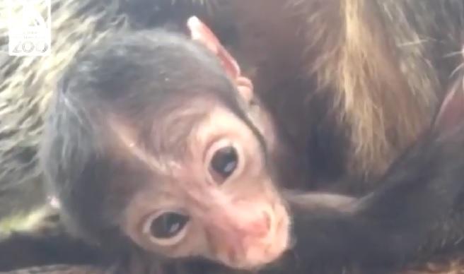 roger williams park zoo baby saki monkey_624582