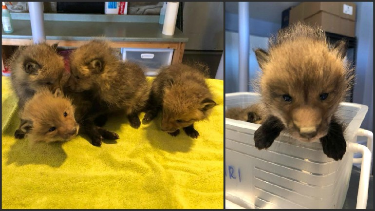 Fox pups rescued