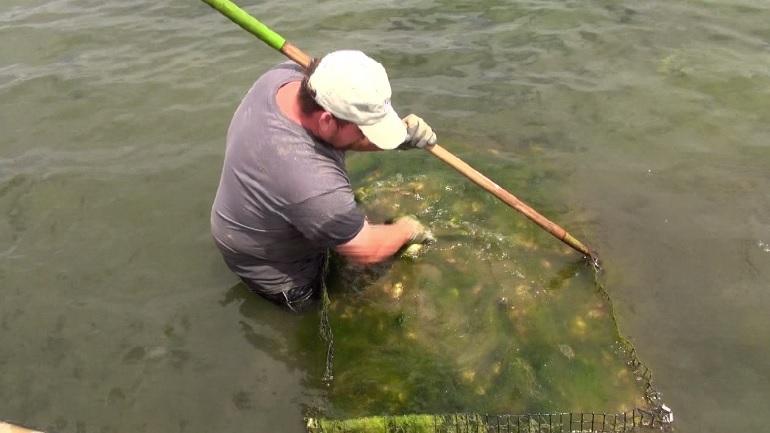 oyster farms aquaculture weather week_1531336286936.jpg.jpg