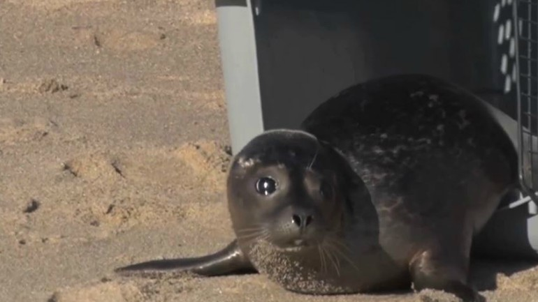 Mystic Aquarium releases Barnes the seal