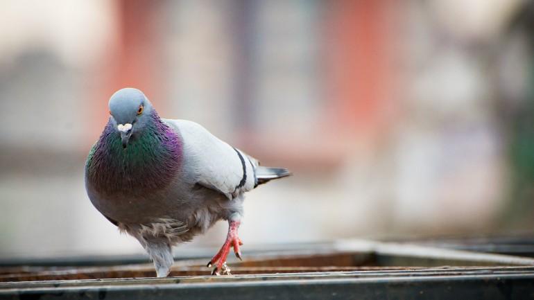 Pigeon_1553801930348.jpg