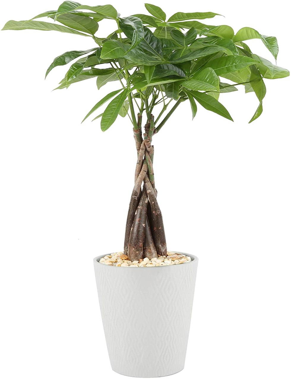 Money Tree plant gifts