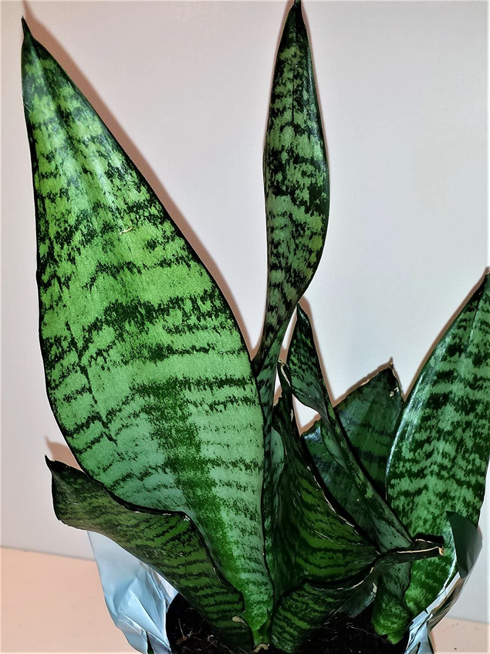 Sanseveria plant gifts