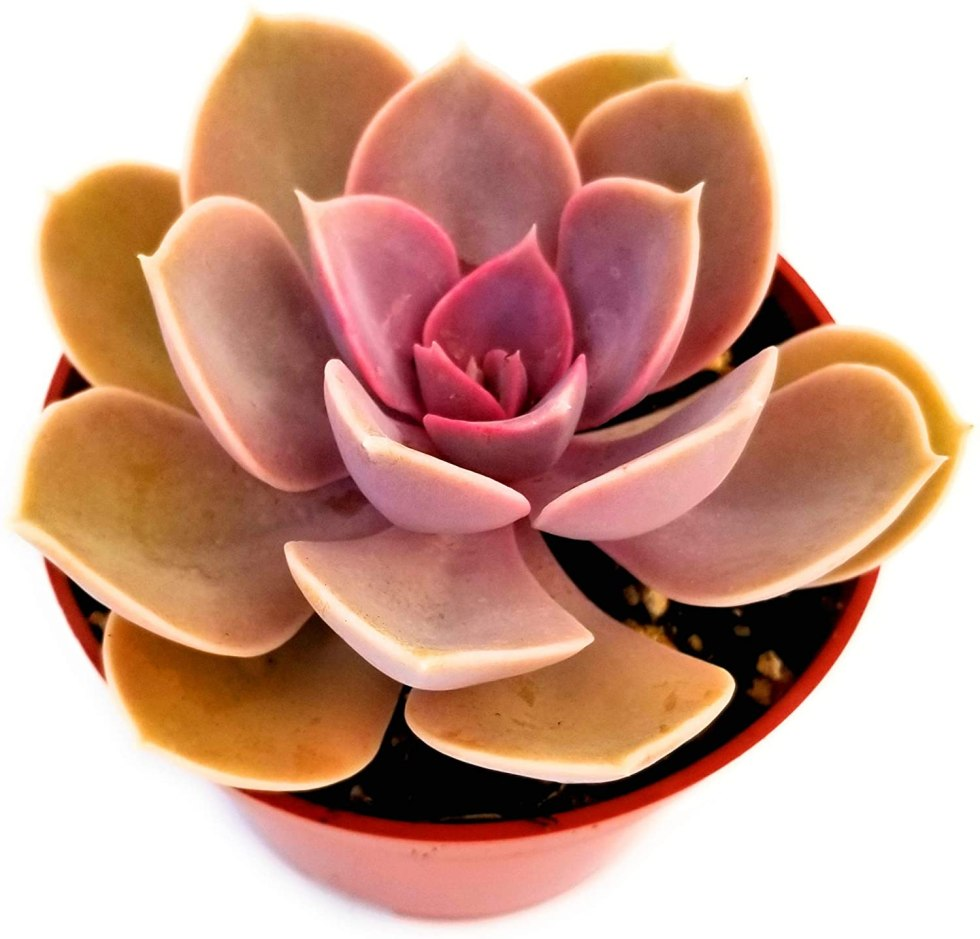 Succulent plant gifts