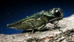 Emerald Ash Borer Detected in Chautauqua County