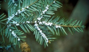 JCC, RTPI and CWC Team Up to Fight Invasive Hemlock Woolly Adelgid