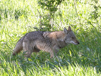 DEC outlines ways to avoid conflict with coyotes