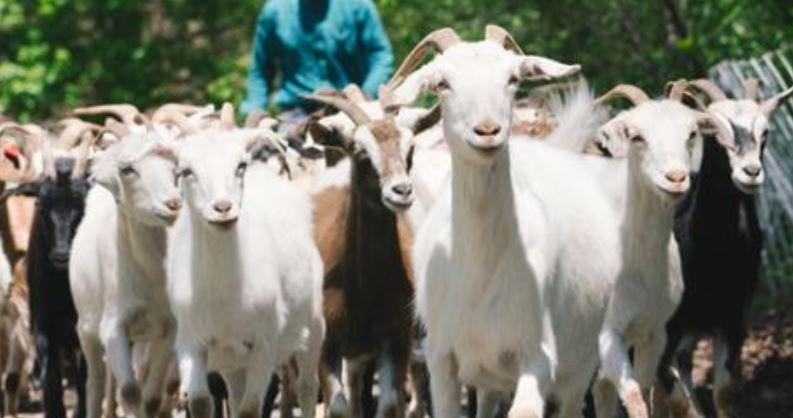 goatssss_1556107838024.JPG