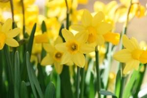 daffodils-716370_1920