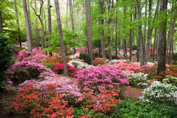 proper pruning of azaleas camellias