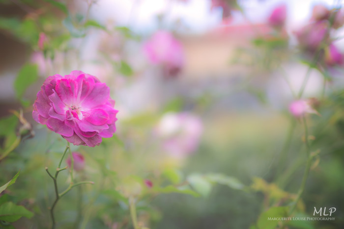 flower, nature, pink