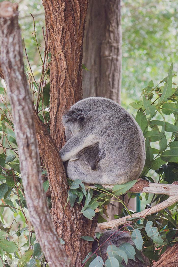 koala, australia, australia zoo, zoo