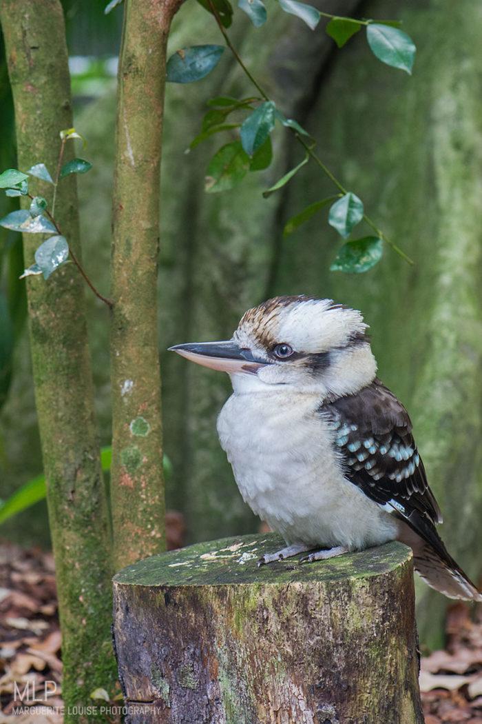kookaburra, bird, australia, zoo, australia zoo