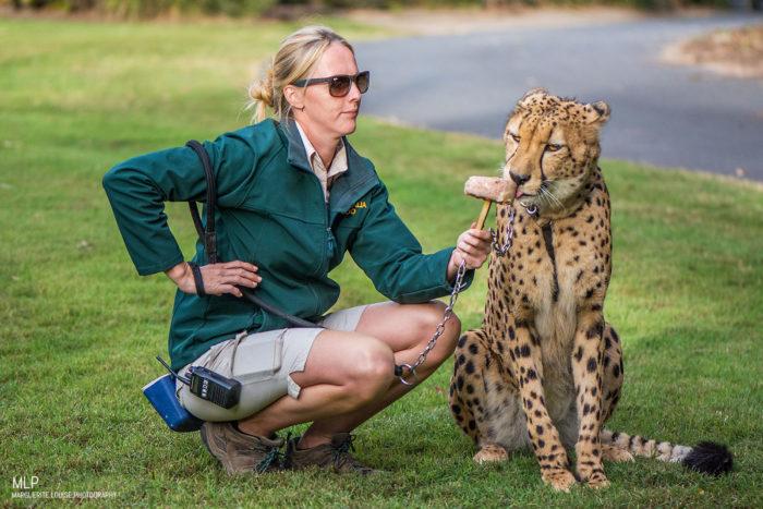 cheetah, cat, australia, zoo, australia zoo