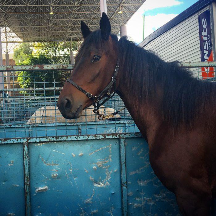 horse, ekka, ekka 2016