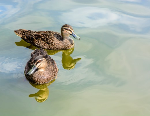#ducks, #pacificblackducks, #duck
