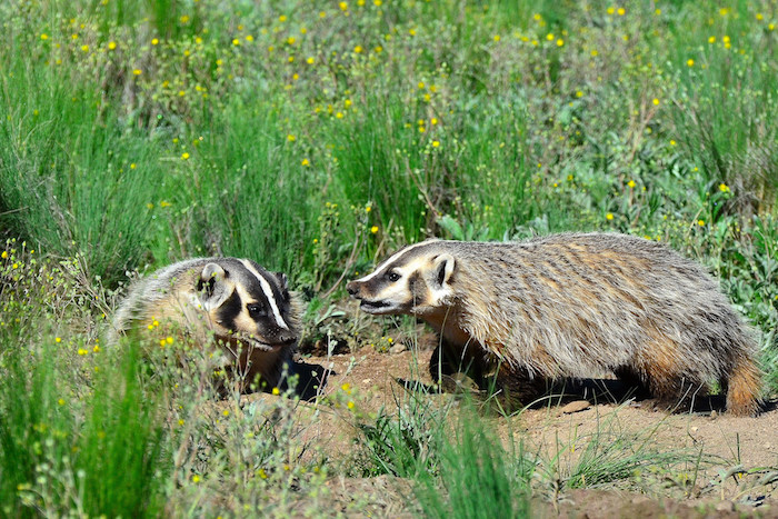 Two badgers fighting in a field of grass.