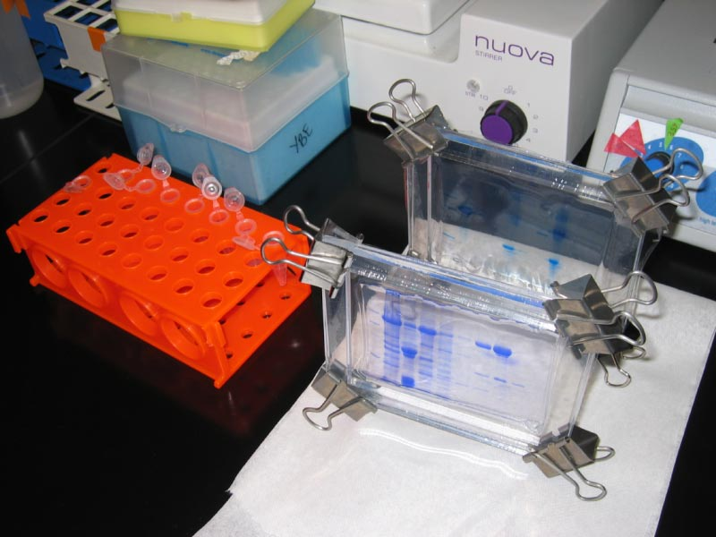 SDS-PAGE Electrophoresis of Proteins - WriteWork