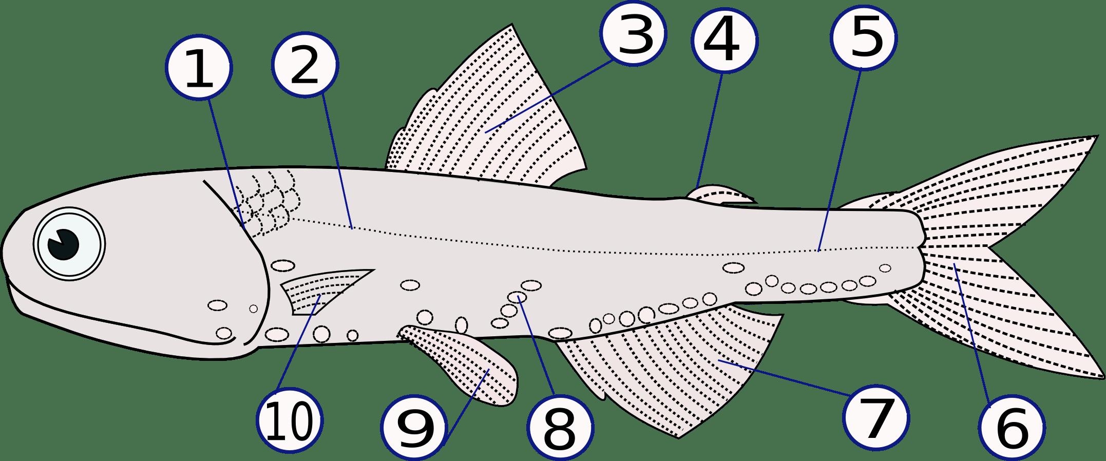 shark skeleton diagram cub cadet lt1042 belt dogfish dissection writework