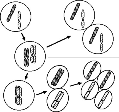 Biology 10 Notes on Genes, Chromosomes, Mendel's Laws, and