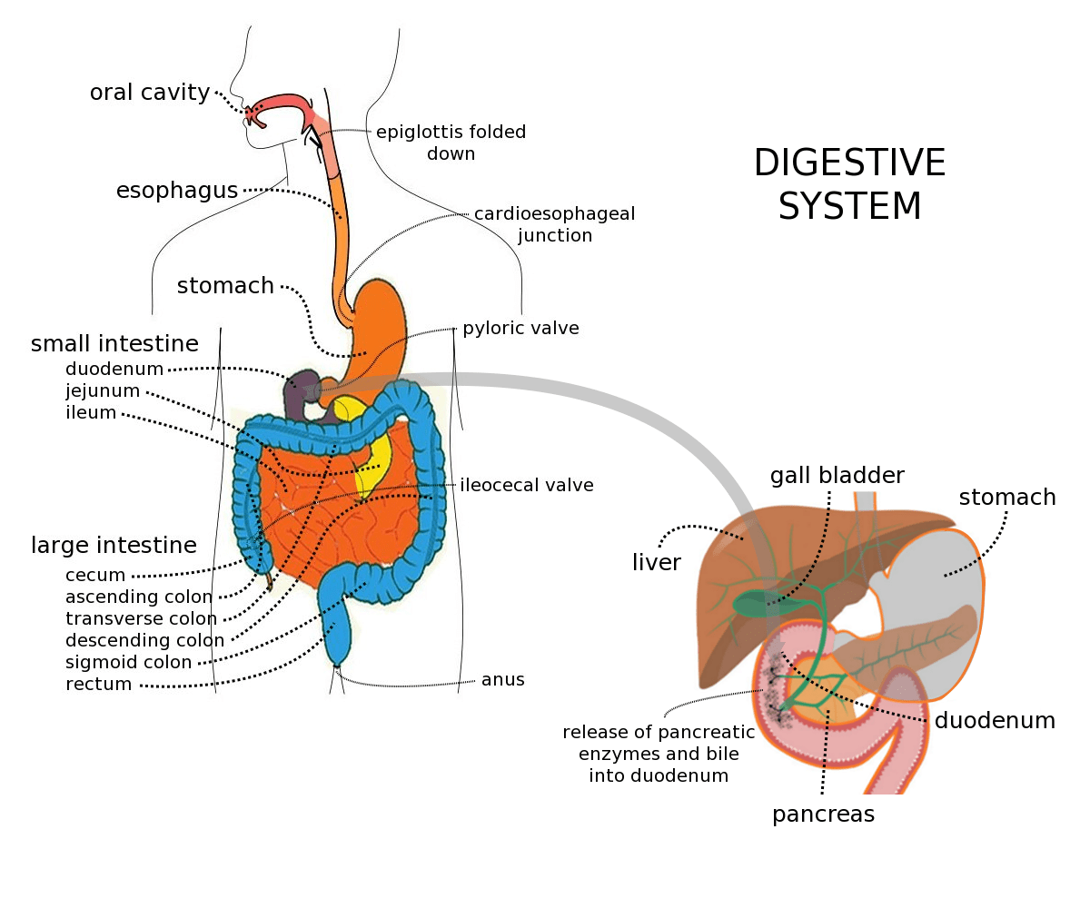 swallowing food diagram faria fuel gauge wiring this essay is about the digestive system organs and