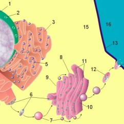 How To Make A Cell Diagram Suzuki Wiring Motorcycle The Endomembrane System - Writework