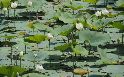 No mud no lotus: simple mindfulness wisdom when things are tough