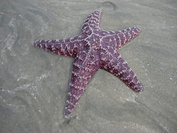 starfish-06-wallpaper