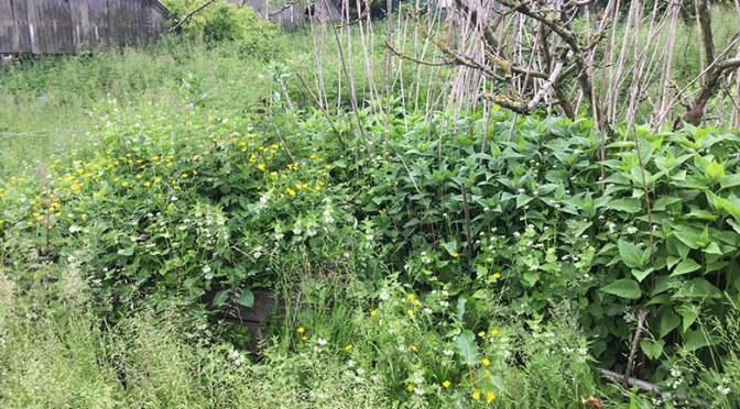The lost garden, and hogweed