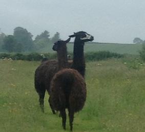 llamas in the rain