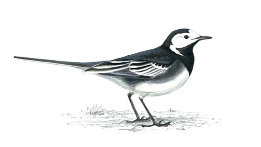 The Willie Wagtail was one of my favourite birds where I grew up in Banagher.