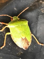 A beautiful shield bug