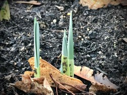 On the third day of Christmas, my #ForestSchool gave to me...three spring bulbs!