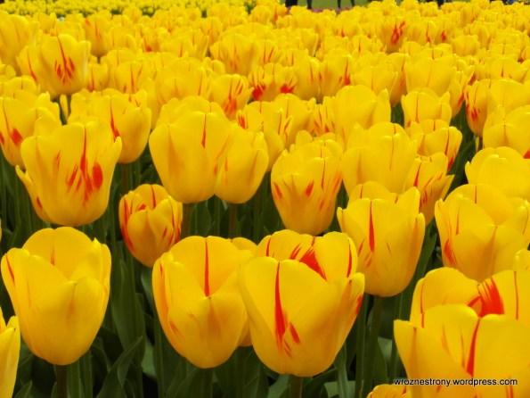 Radosne żółte tulipany Olimpic Flame
