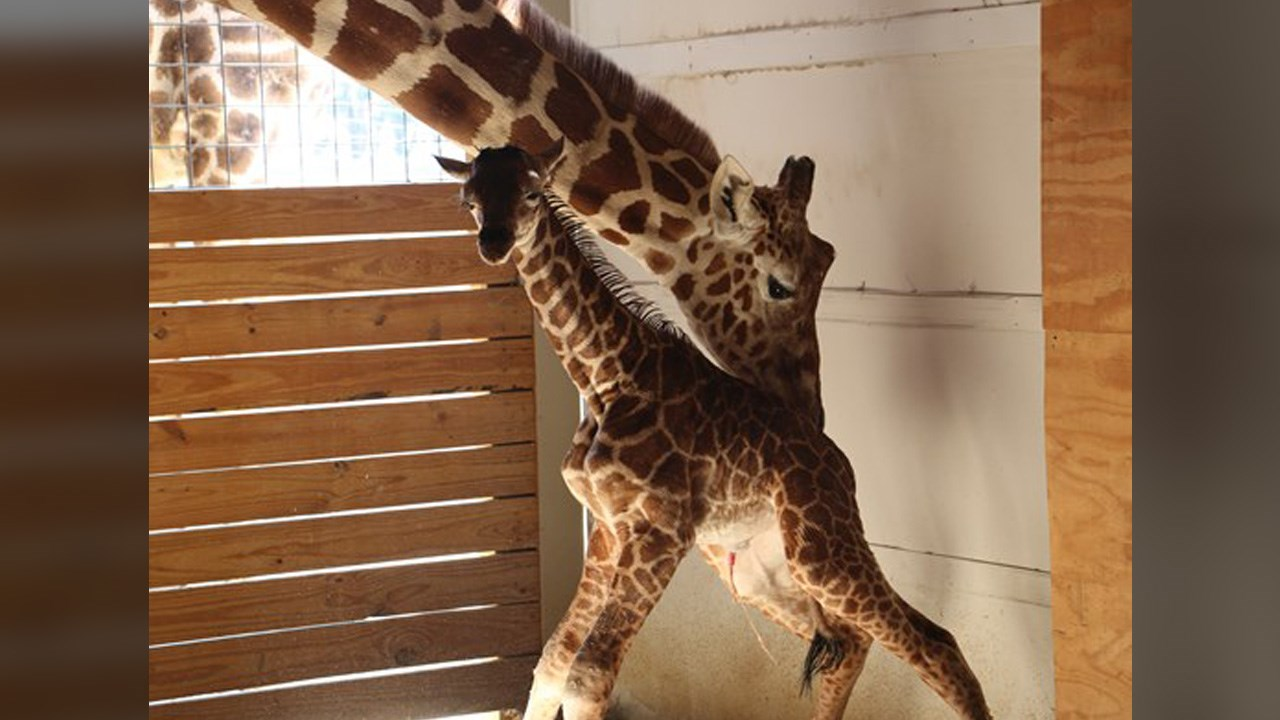 april the giraffe.jpg